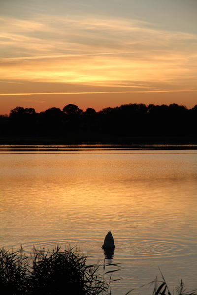 Diving Swan at Sunset